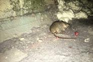 Уничтожение мышей в 2-х комнатной квартире