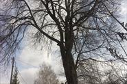 Спил дерева в Жестелево