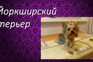 Йоркширский терьер (англ. Yorkshire terrier)
